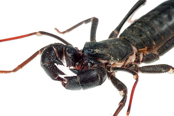 Vinegaroon scorpion