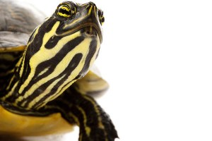 Yellow Bellied Slider in turtles and tortoises