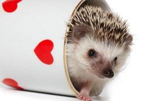 hedgehog pocket pets