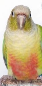 Pineapple Conure