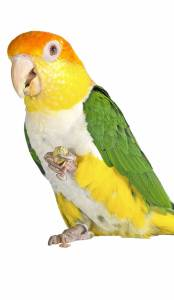 The Animal Store White-bellied Caique 2c
