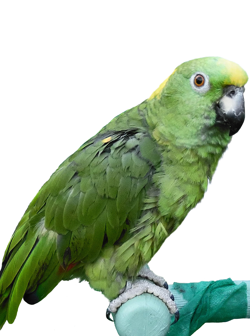 Yellow-naped Amazon