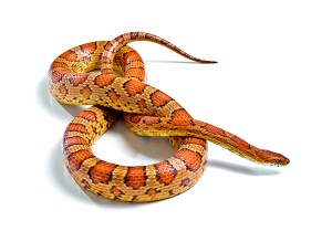 Animal Store Reptile Sale Cornsnake 2