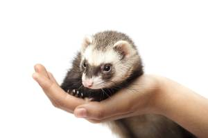 Your new pet deserves a great ferret cage