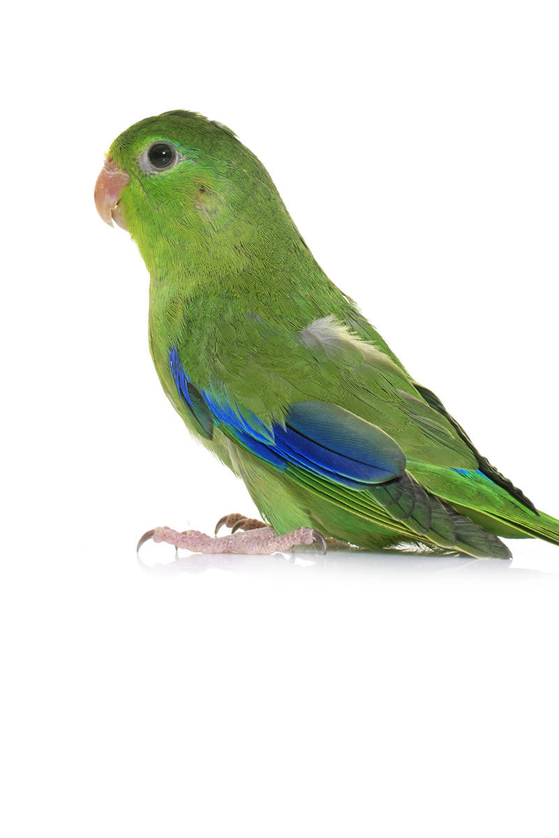Pacific Parrotlet The Animal Store