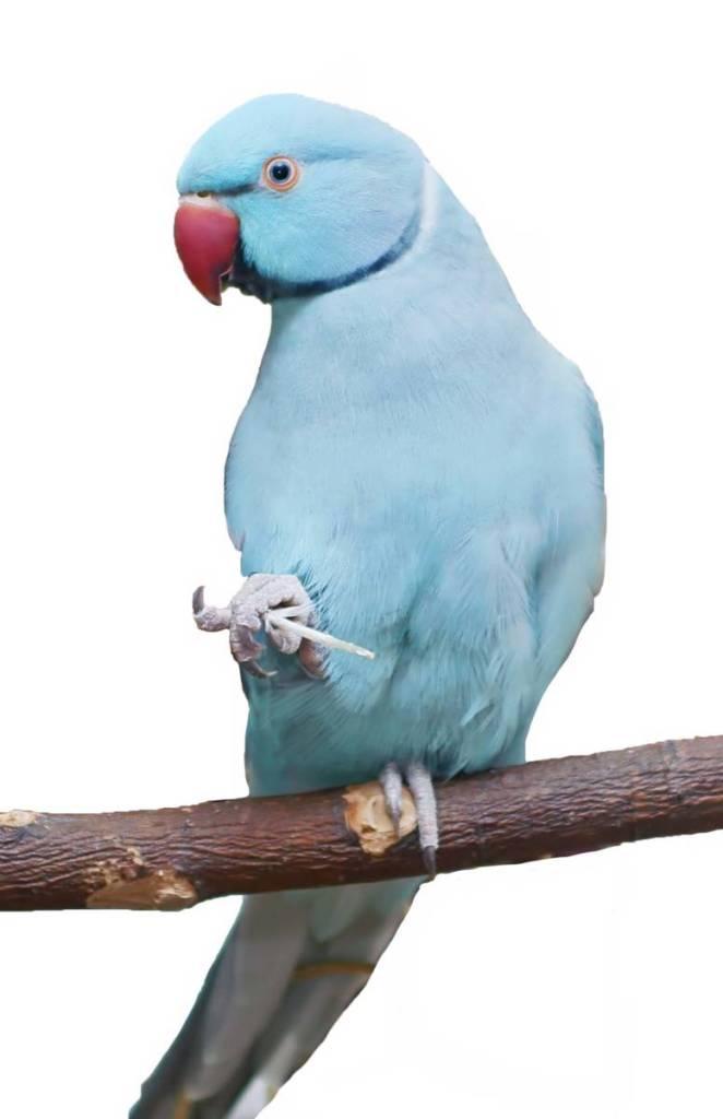 Blue Indian Ringneck