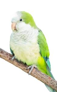 Light Green Quaker Parakeet