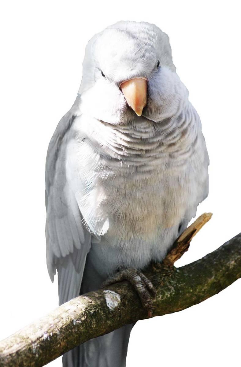 White Quaker Parakeet