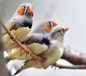Zebra Finch at The Animal Store