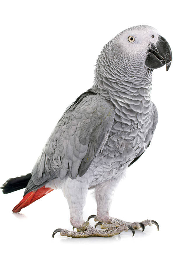 African Grey at The Animal Store