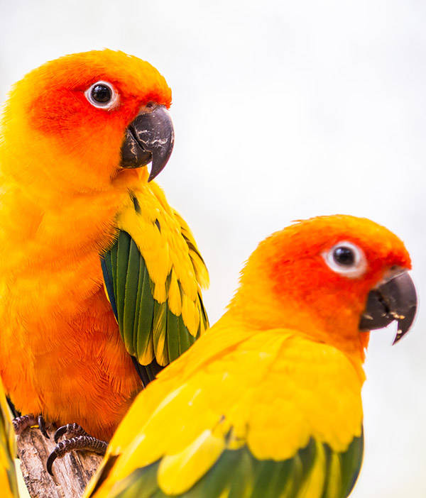 Sun Conures at The Animal Store