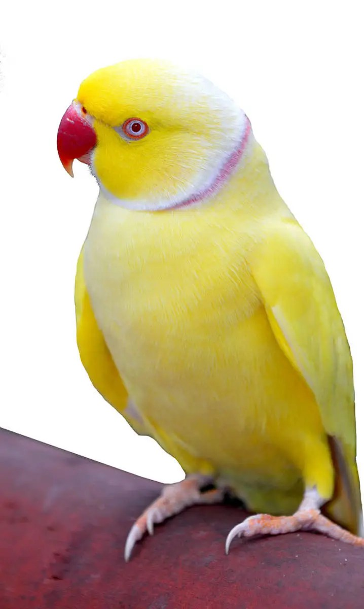 Lutino Indian Ringneck