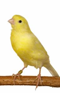The Animal Store Canary