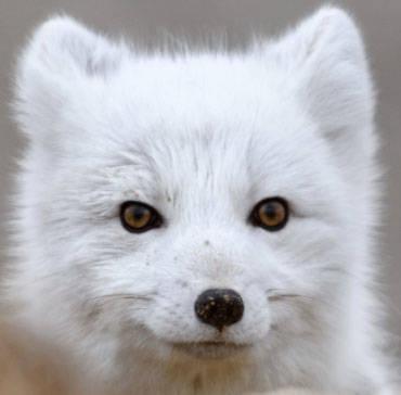 Arctic Fox with White Winter Coatt