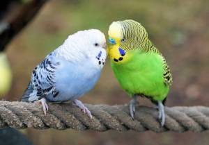 Budgies at The Animal Store