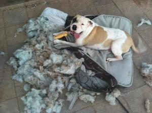 dog ate bed