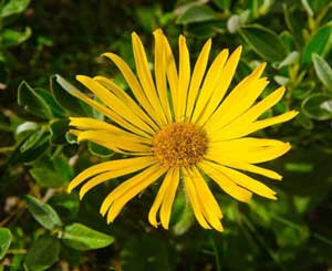 Fundamentals of pharmacology - arnica flower