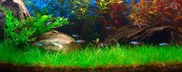 Aquarium Carpet Plants - Carpet Vidalondon