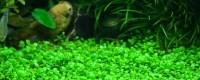 Create a Carpet in Your Planted Tank   The Aquarium Guide