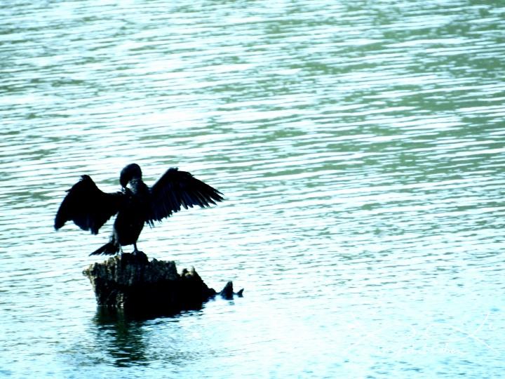 צילום של הדלי ההודי בעל עיניי הנץ