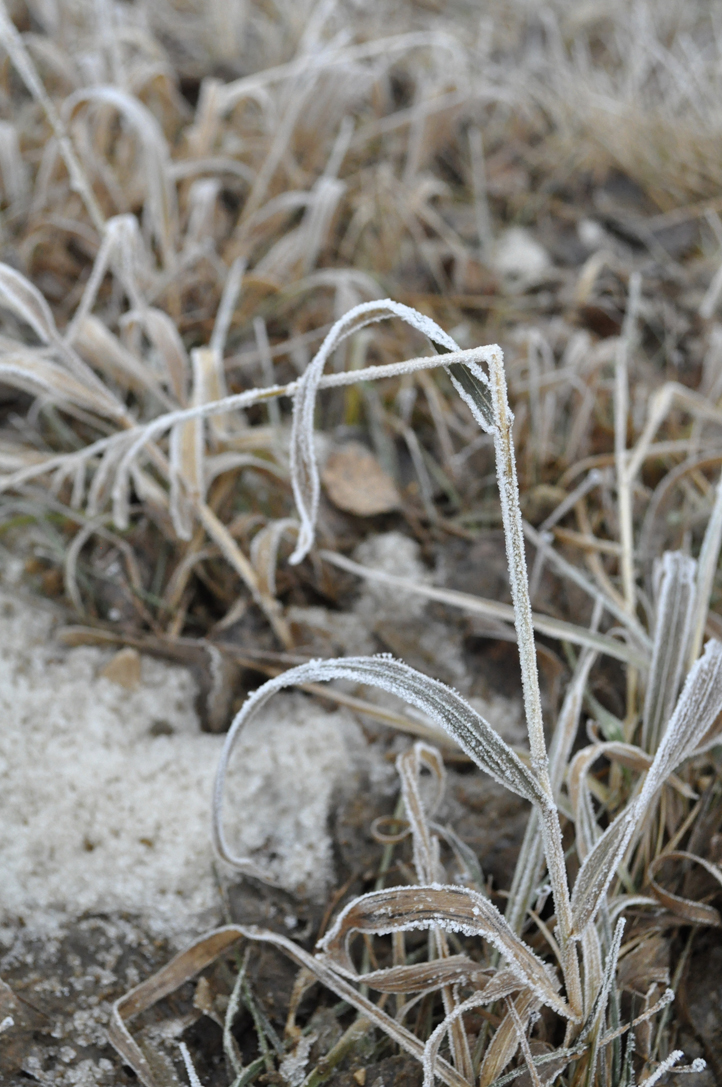 the artyologist- image of beautiful winter frost on grass