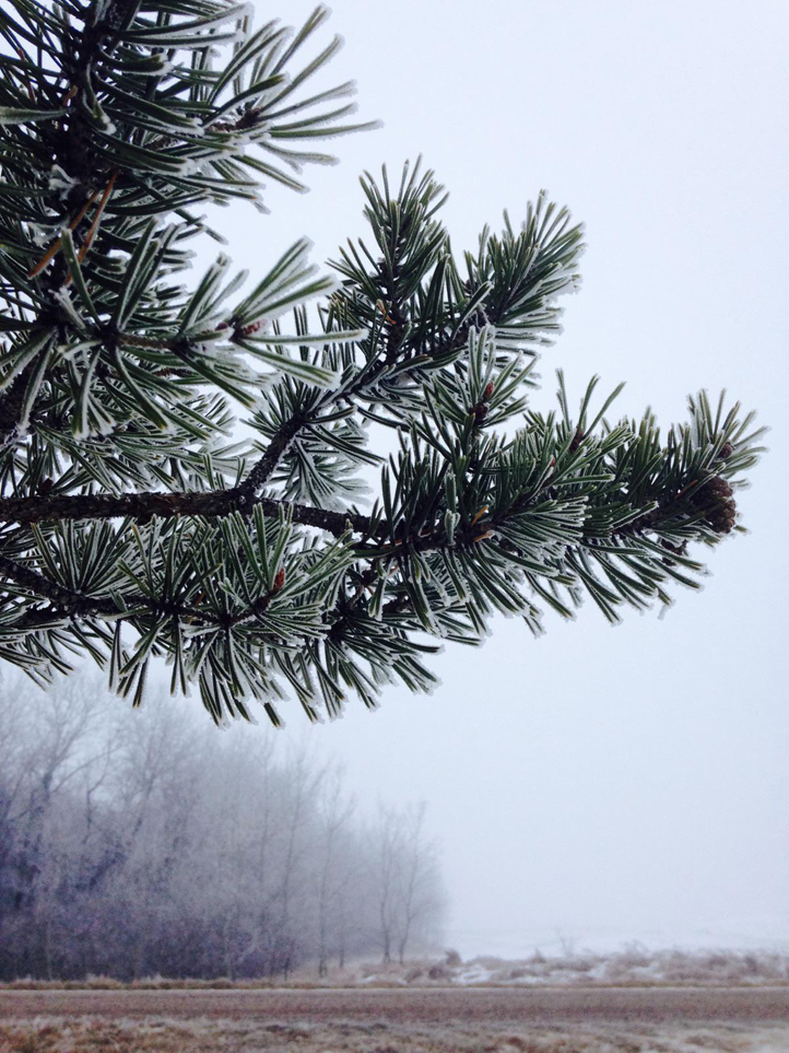 the artyologist- ethereal beauty winter frost on pine tree