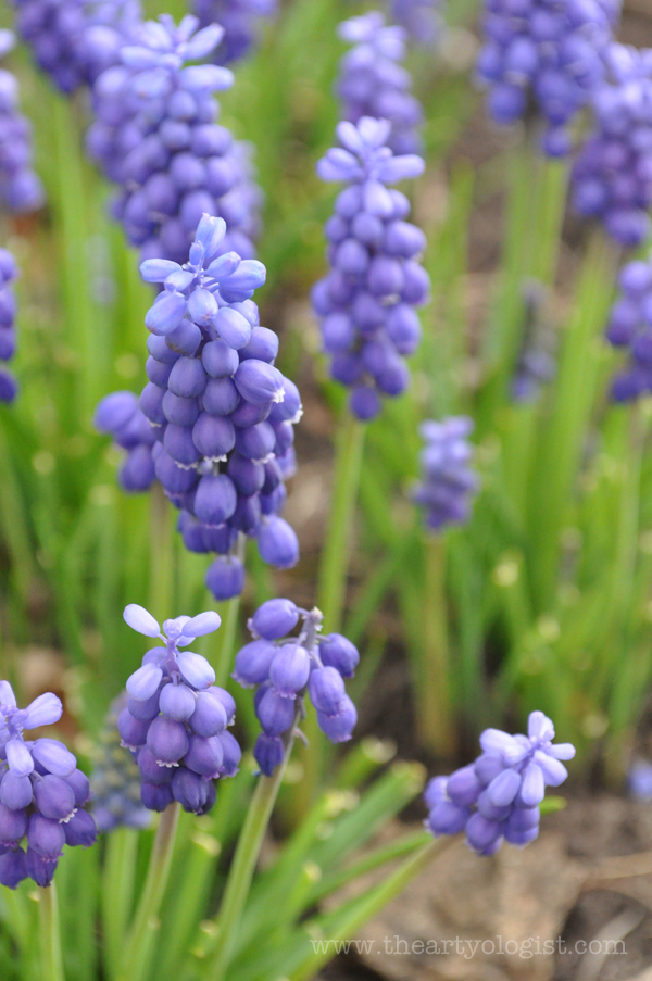 the artyologist image of grape hyacinths - he is risen