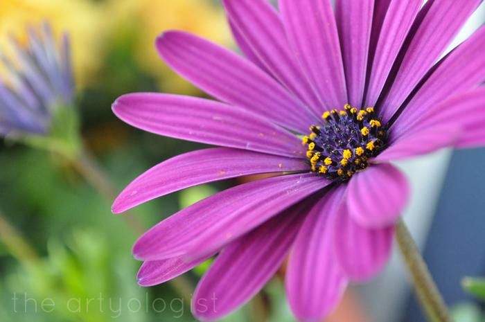 purple daisy technicolor flowers, the artyologist