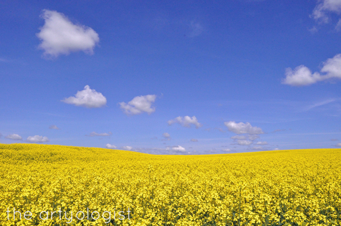field of canola landscape the artyologist