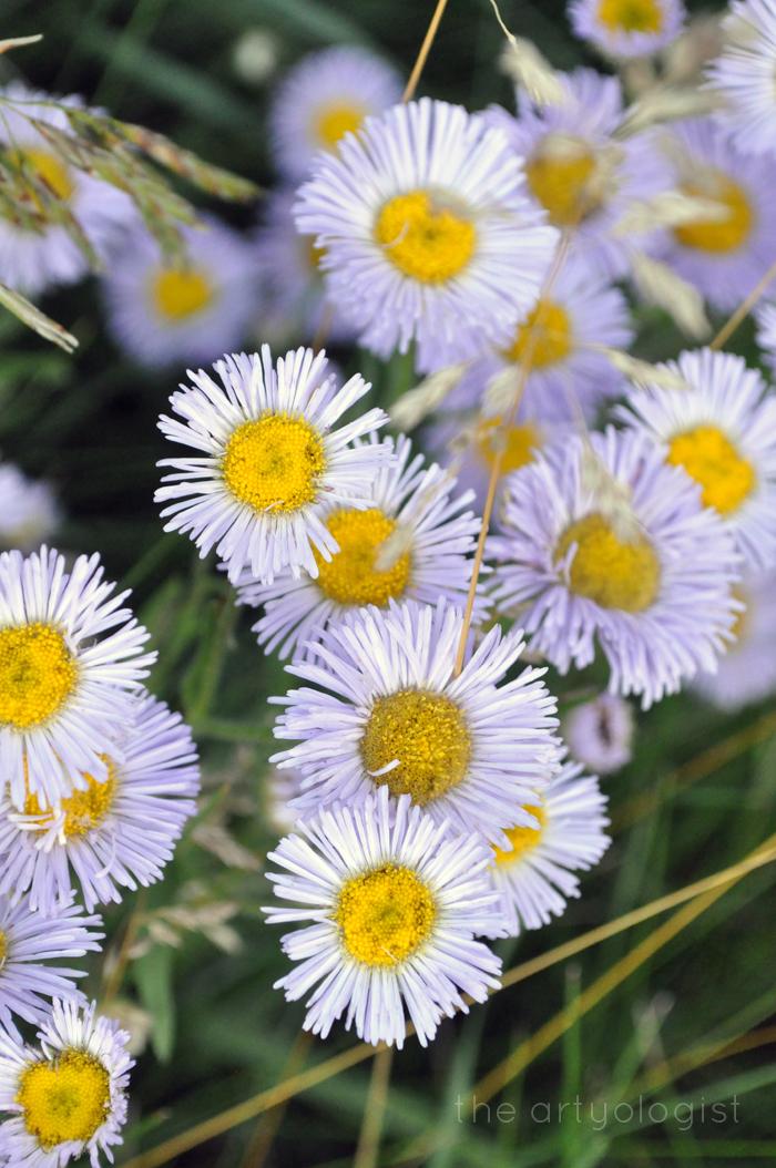 fleabane, gathering wildflowers, the artyologist