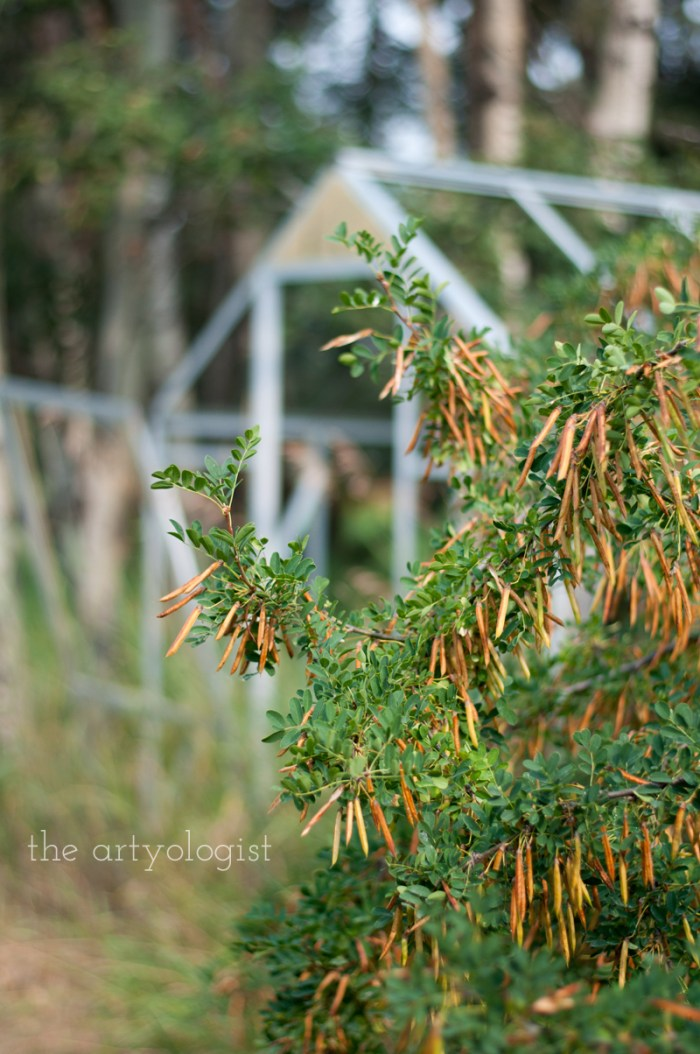Photo Journal: Fall Time at the Farm, the artyologist, caragana seeds