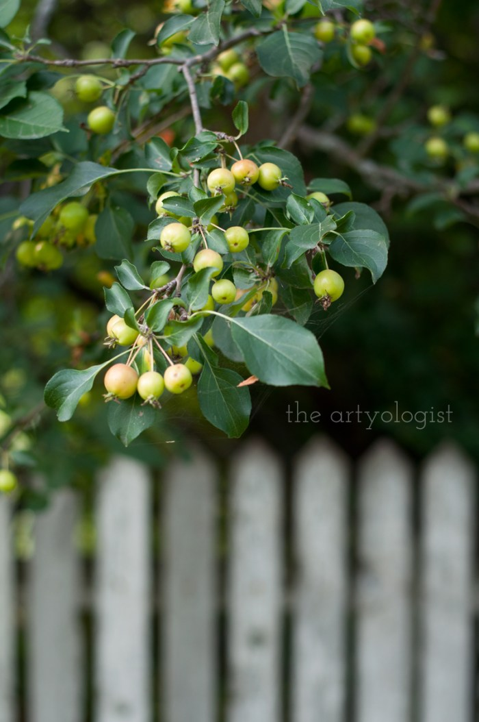 Photo Journal: Fall Time at the Farm, the artyologist, hanging-apples-with-fence