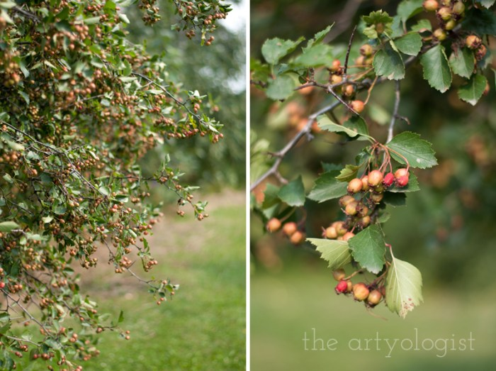 Photo Journal: Fall Time at the Farm, the artyologist, hawthorne