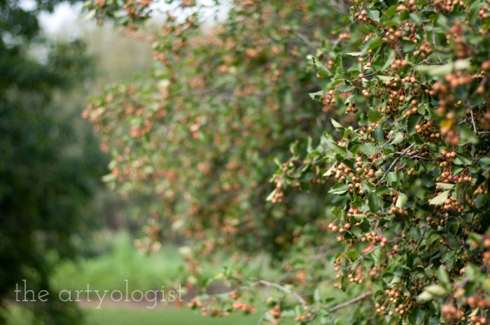 Photo Journal: Fall Time at the Farm, the artyologist, hawthorn
