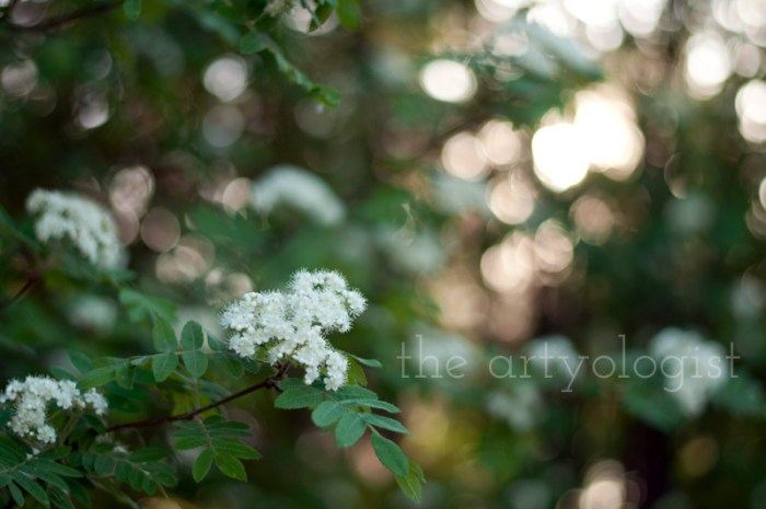 white-flowers, mountain ash, the artyologist