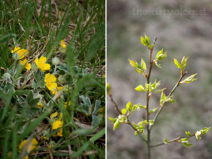 yellow buttercups and baby leaves