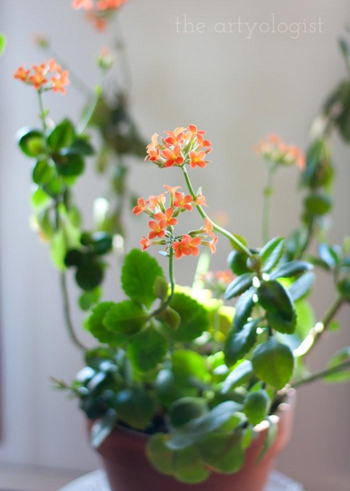kolanchoe succulent plant with orange blooms