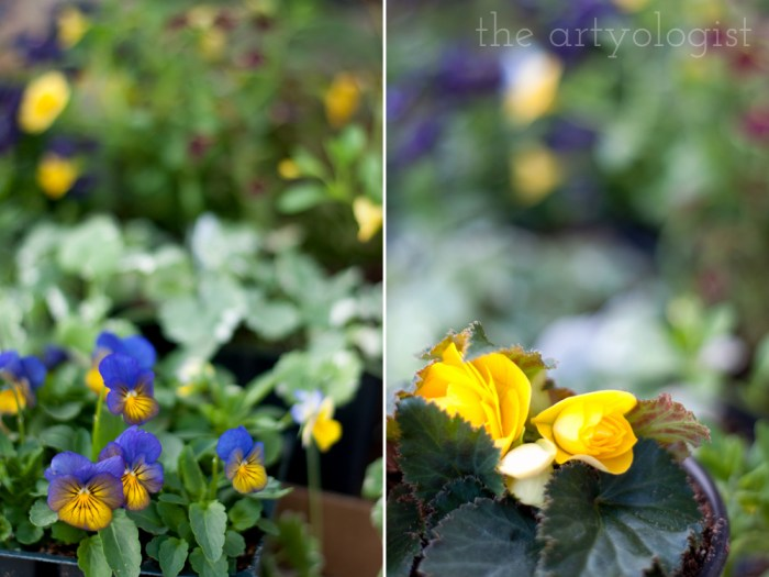 purple and yellow violas and a yellow begonia