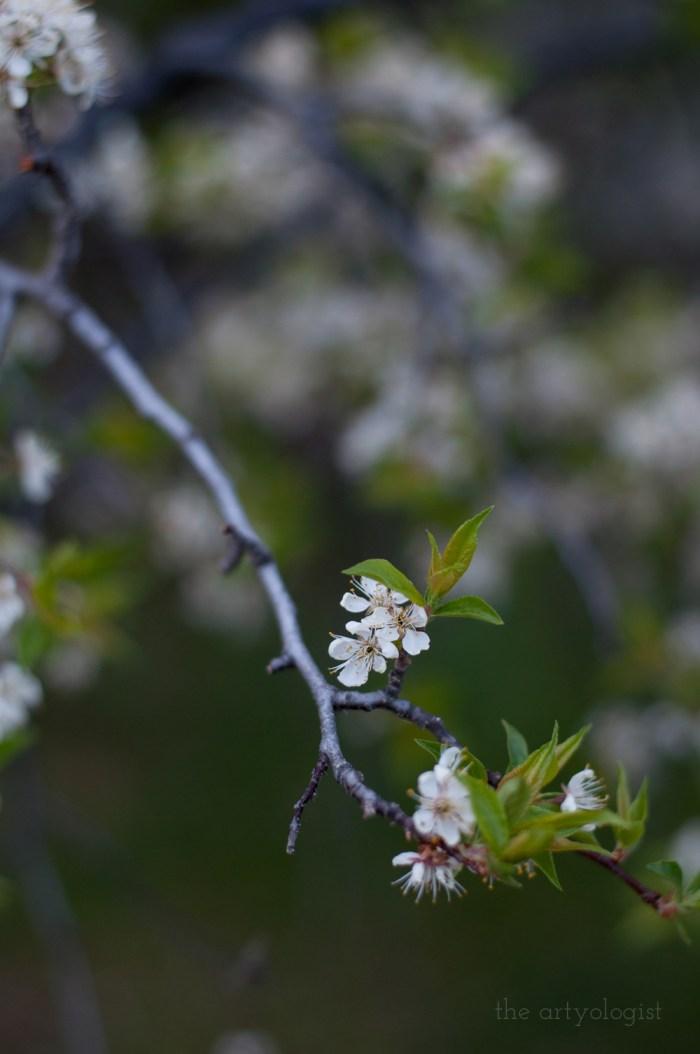 plum tree bloom