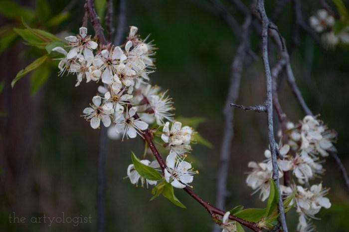 cluster of plum tree blooms