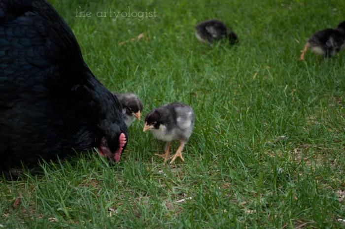 black copper maran hen and chick