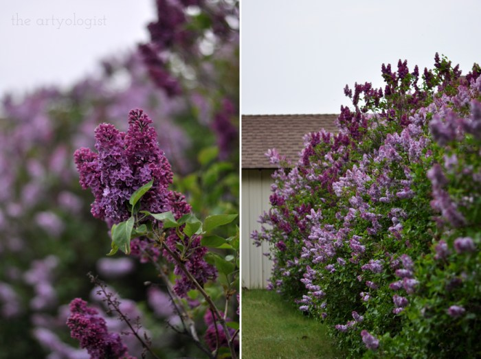 lilac hedges covered in blooms