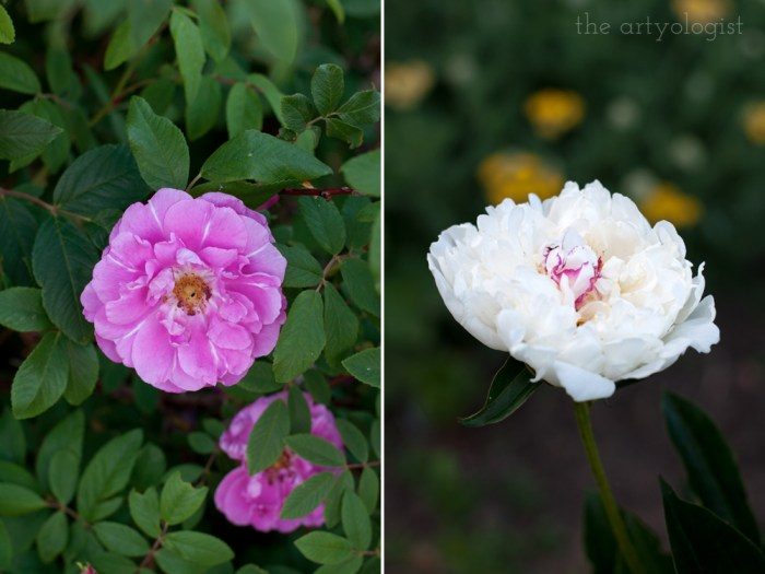 pink rose and white peony