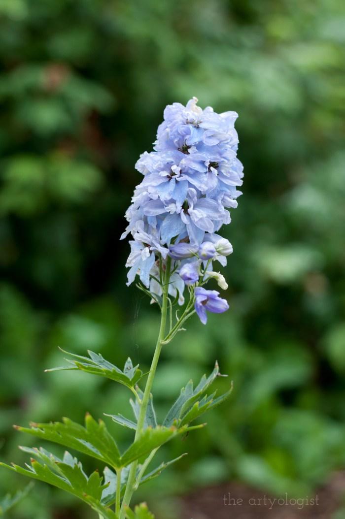 pale periwinkle blue delphinium flower