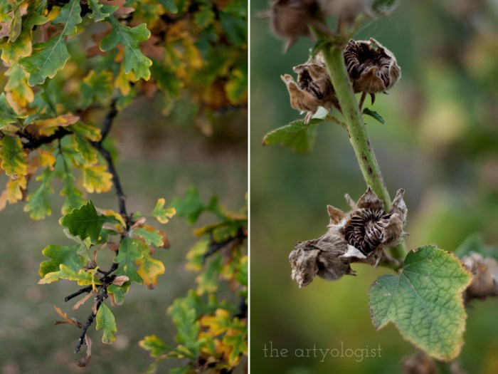 Oak leaves changing yellow and seeds from a hollyhock