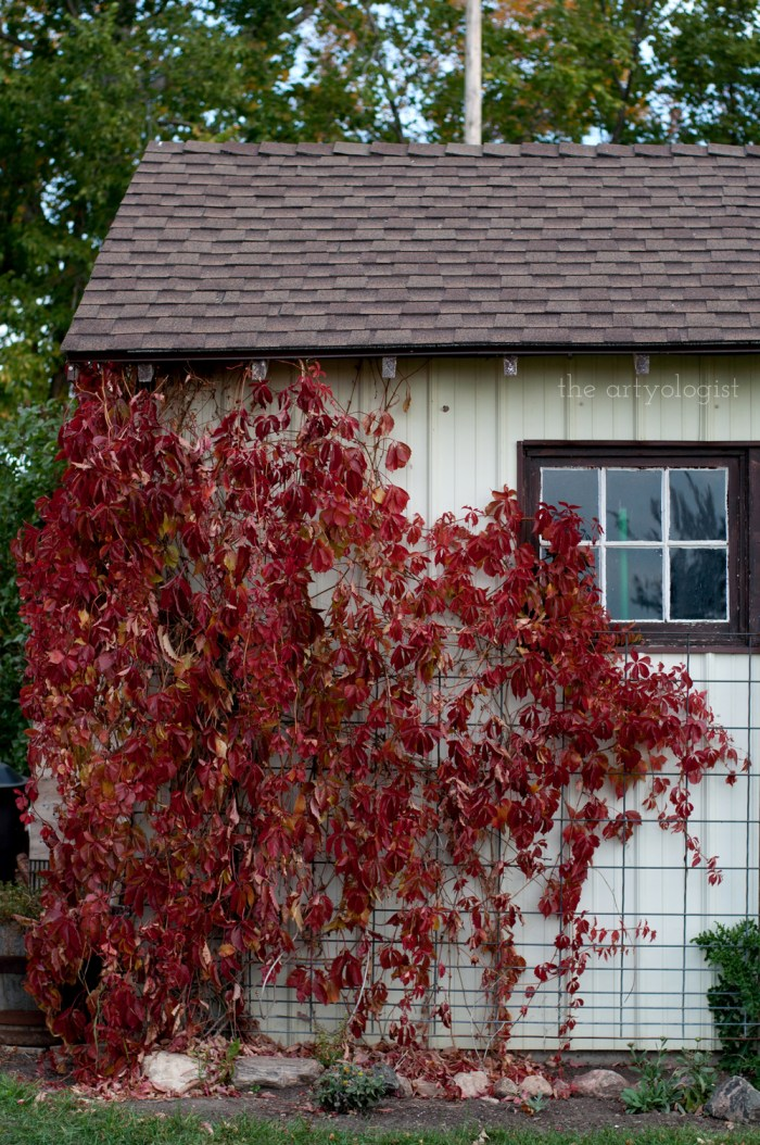 A little shed overgrown with a virginnia creeper vine turning bright red