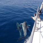 Dolphins swimming with MedSailors yacht