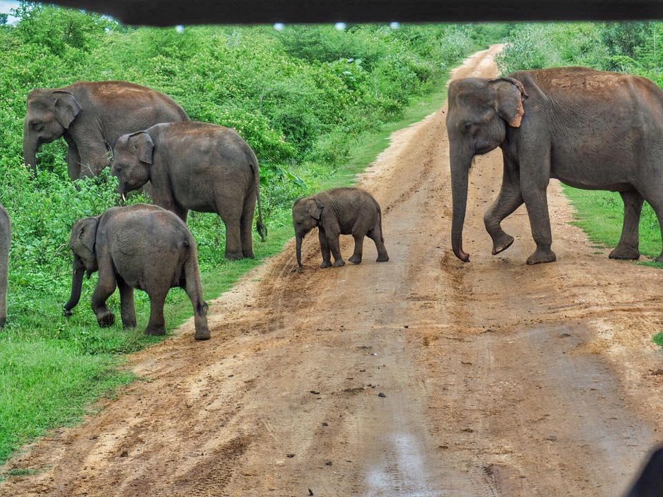 Elephants crossing road in Udawalawe National Park