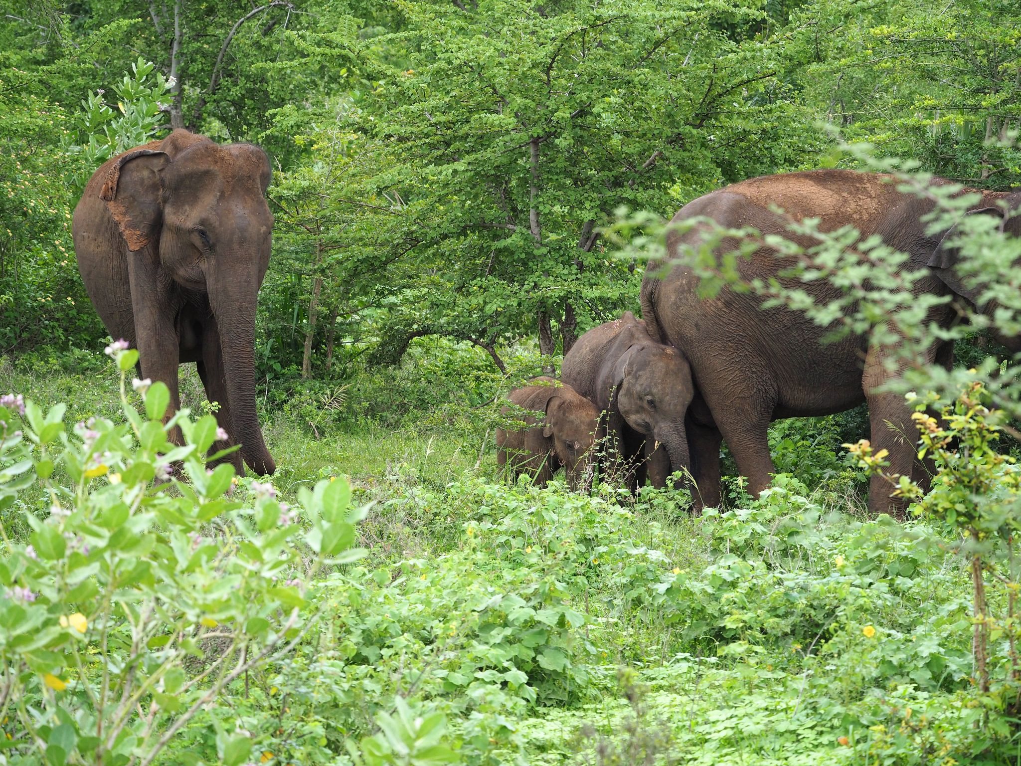 Elephant family in Udawalwe National Park
