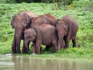 Elephants by lake Udawalwe National Park